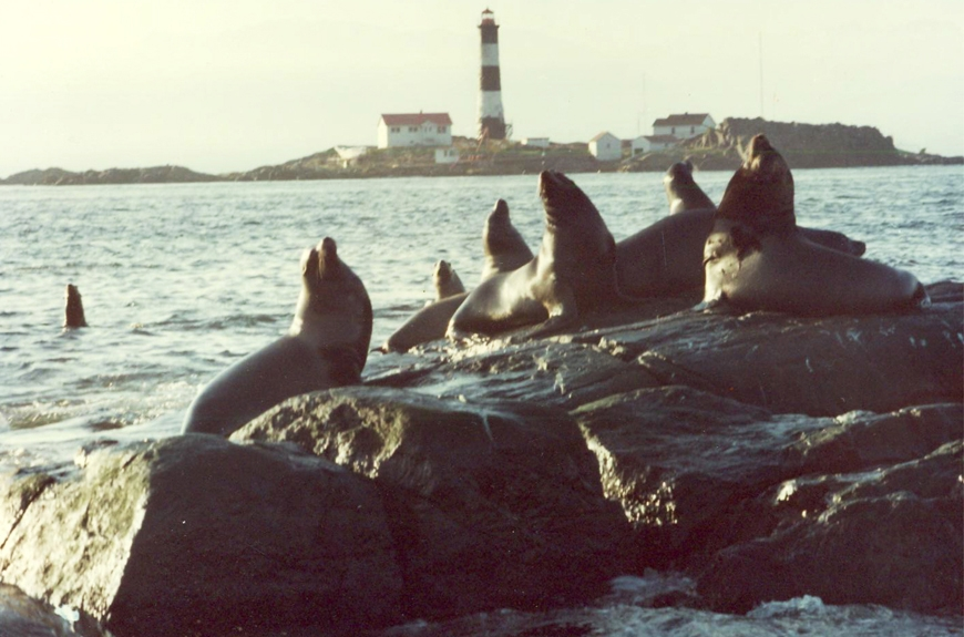 circa late 1990s:Race Rocks sea lions